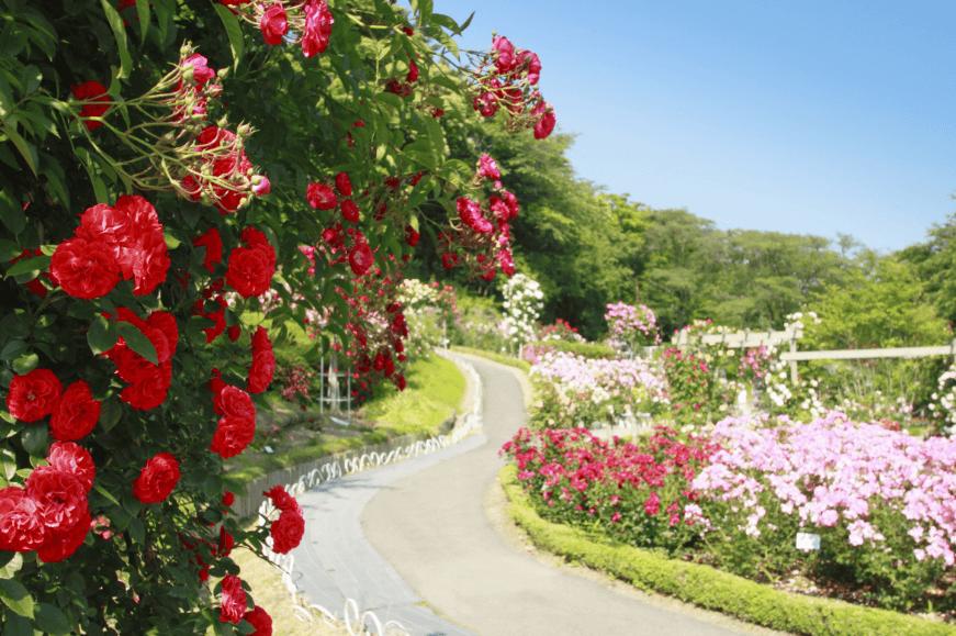 Hình ảnh vườn hồng chất lượng cao trên Shutterstock